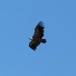 vautour-gite-verdon