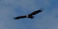 De notre gîte dans les Gorges du Verdon, vous pouvez observer les vautours fauves
